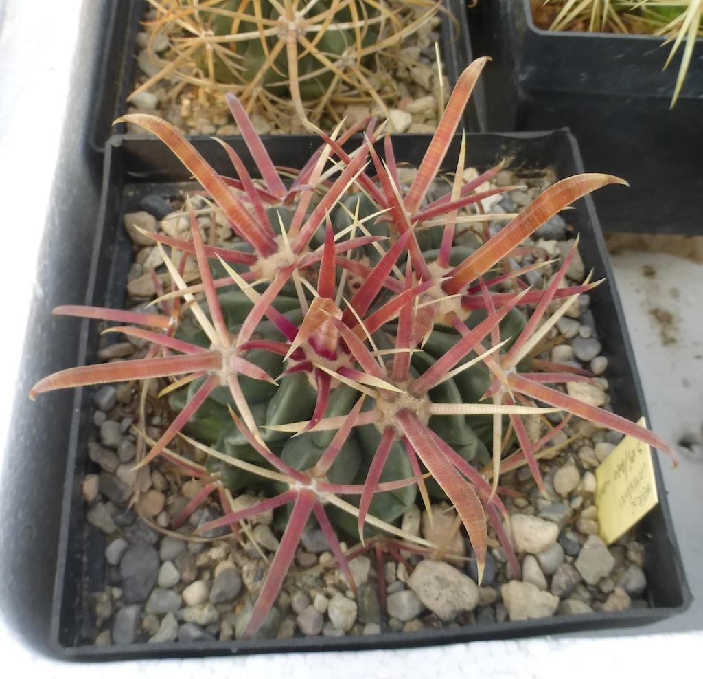 Ferocactus latispinus, una mia semina al sole diretto