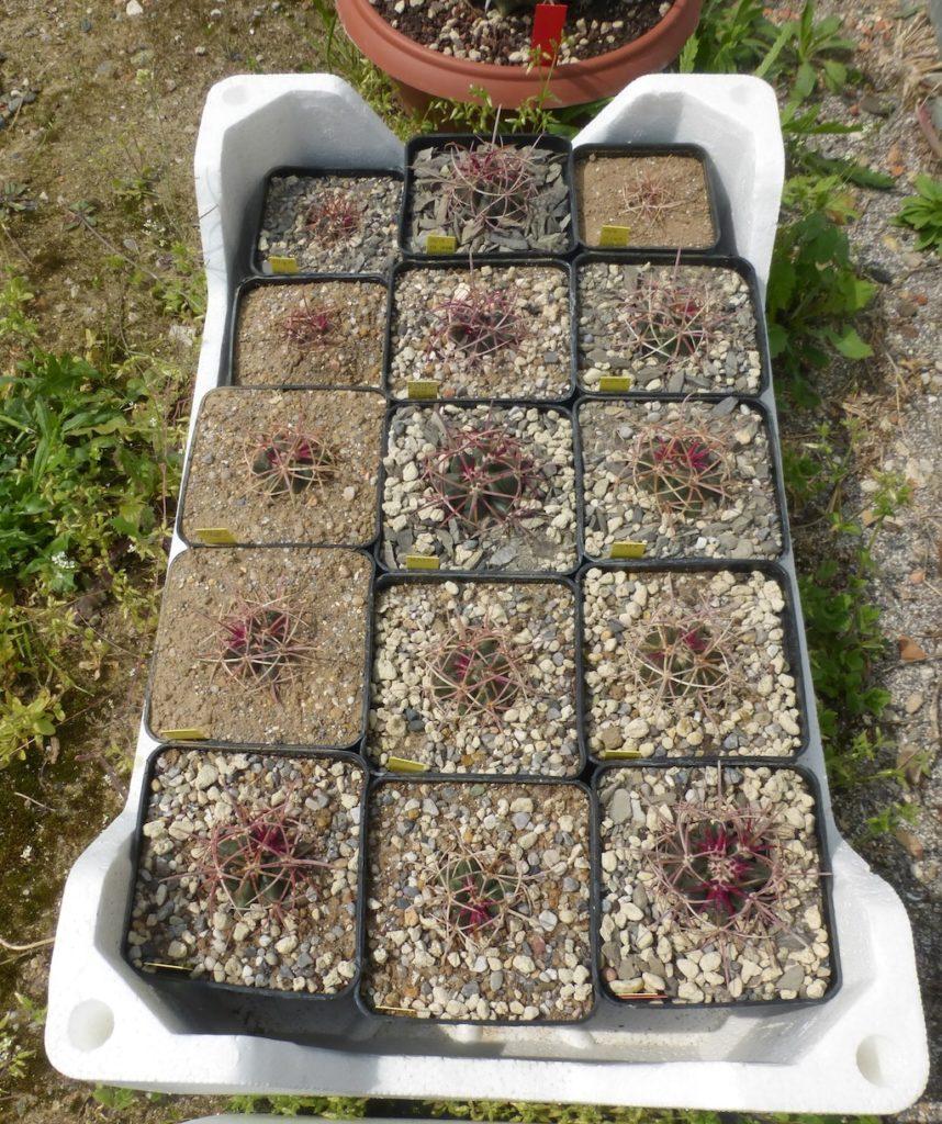 Ferocactus, mie semine al sole diretto