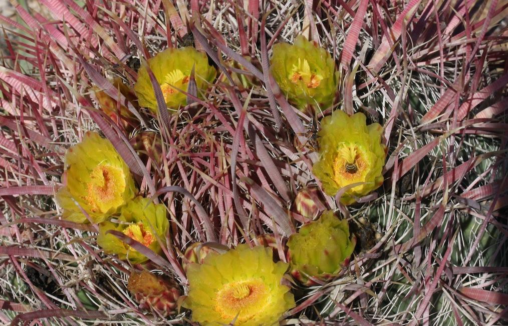 Per gli amanti delle spine, una panoramica sull'acanthodes: il più variabile tra i Ferocactus