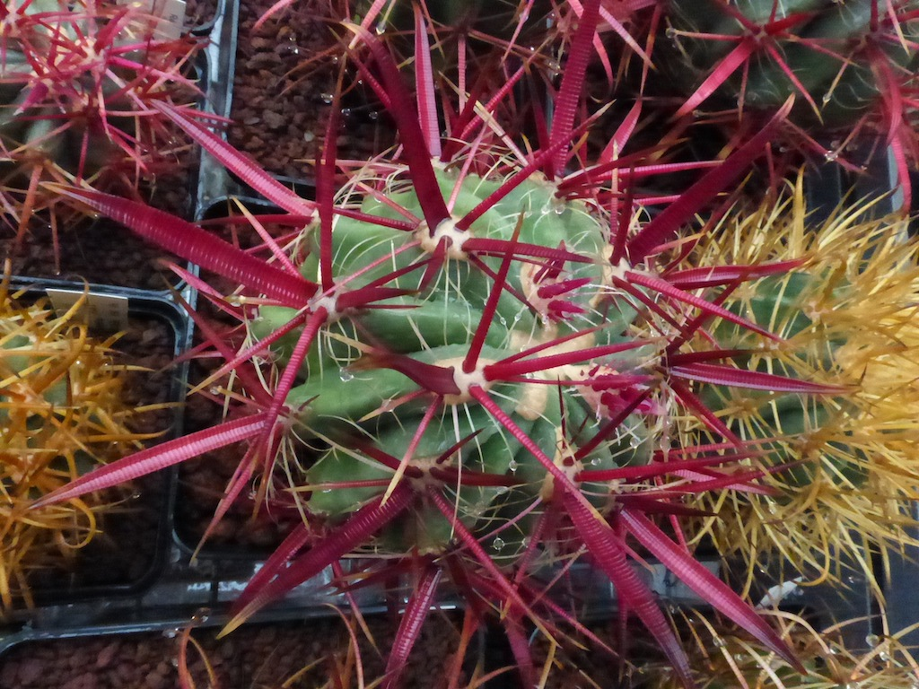 Ferocactus, particolare delle spine bagnate