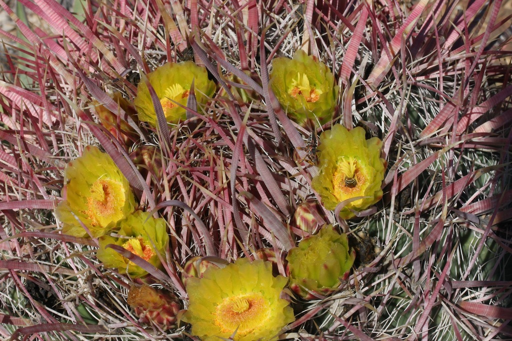 Ferocactus acanthodes ssp. tortulispinus, Laguna Chapala, BC, Mex