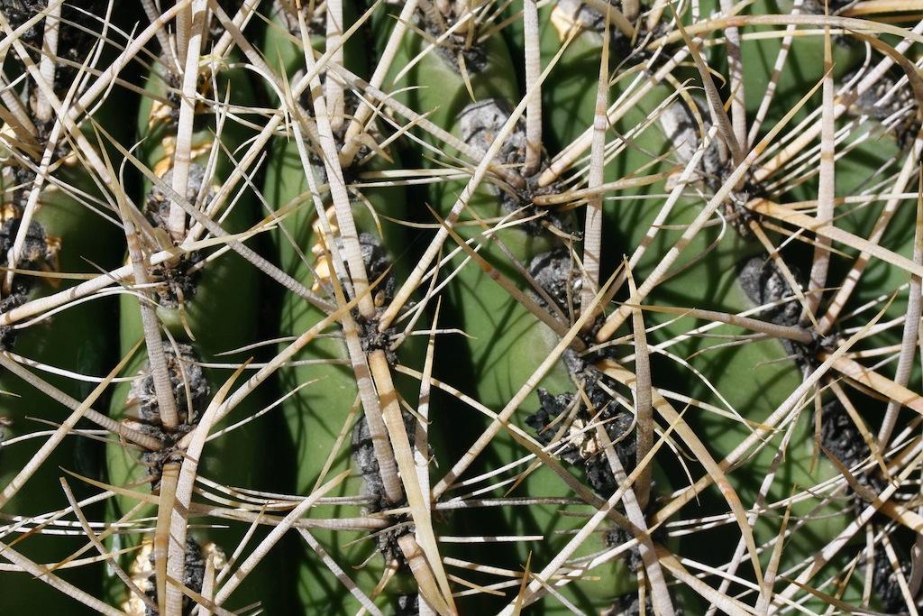 Ferocactus acanthodes ssp. eastwoodiae (vicino Winkelmann, AZ, Usa)
