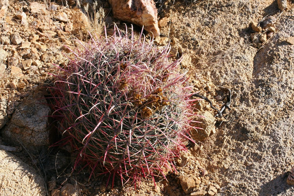 Ferocactus acanthodes ssp. lecontei (vicino a Casa Grande, AZ, Usa)