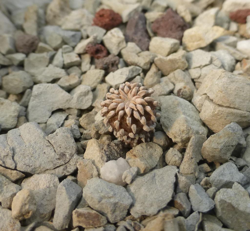 Geohintonia, una mia semina