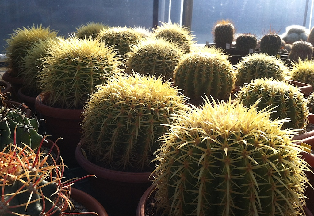 Rinvasare i cactus: qualche consiglio su come farlo al meglio senza… donare il sangue!