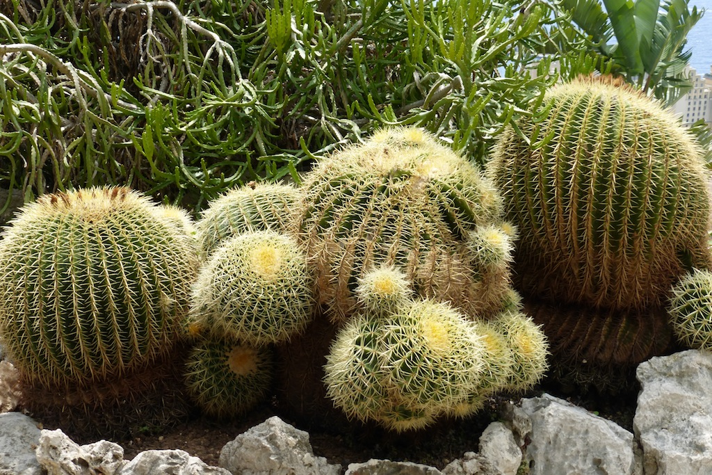 Echinocactus Grusonii al Giardino Esotico di Monaco