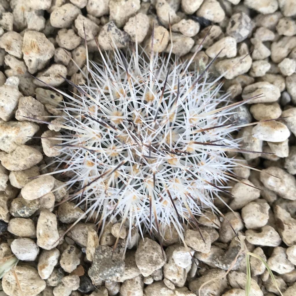 Gymnocactus beguinii albiflorus
