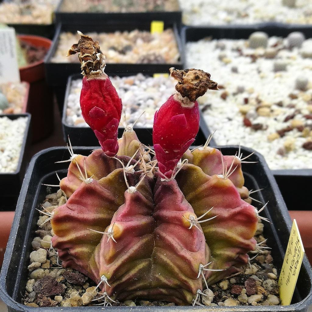 Gymnocalycium mihanovichii, una mia semina con frutti