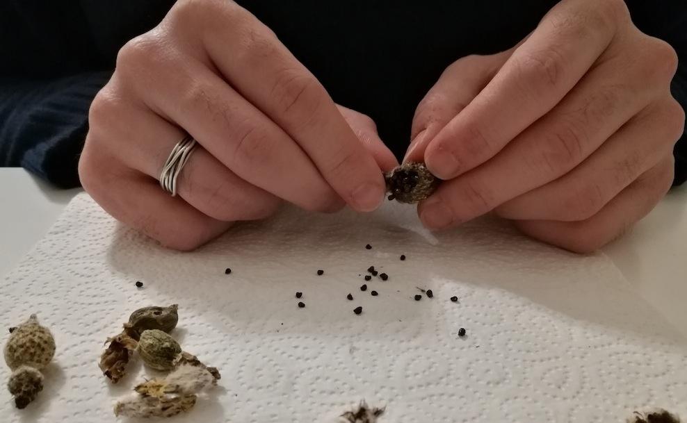 Pulizia di semi di cactus