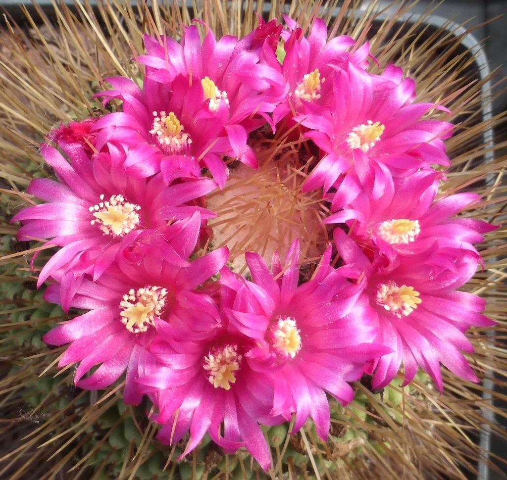 """Mammillaria """"un pico"""""""