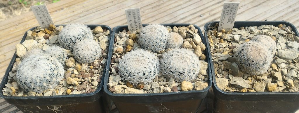 Mammillaria lasiacantha, terriccio con alberese.jpg