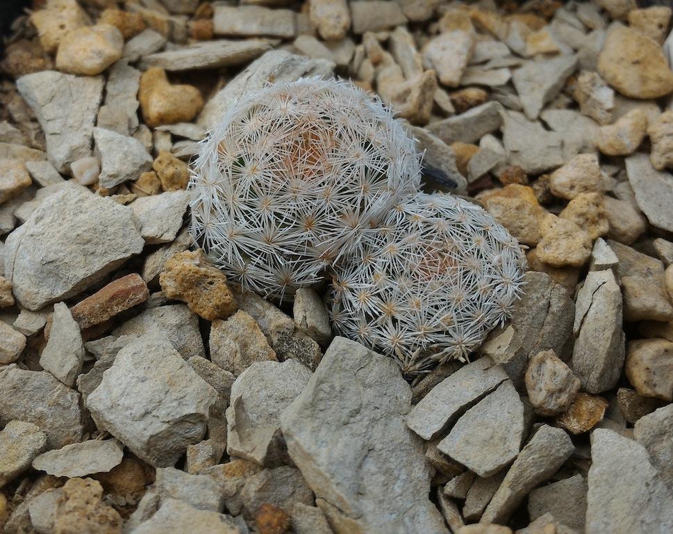 Mammillaria lasiacantha, terriccio con alberese