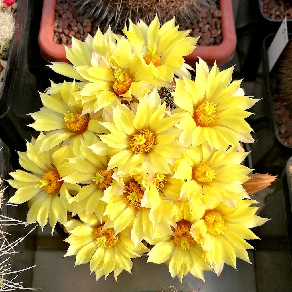 Mammillaria longimamma (dolichothele)