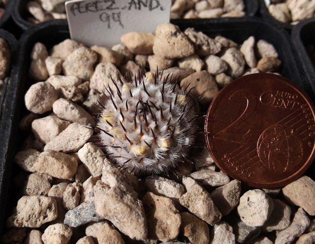 Mammillaria perezdelatosae ssp. andersonii