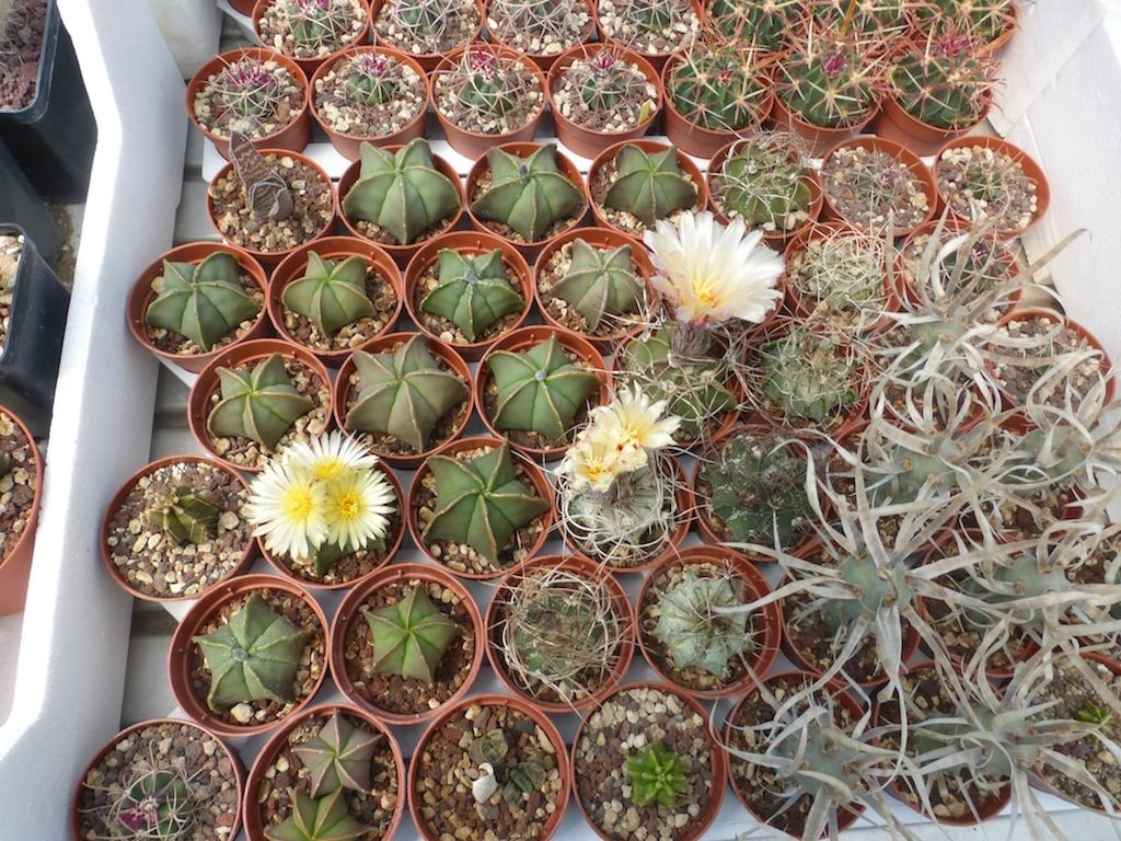 Alcune mie semine di Astrophytum e talee di Tephrocactus