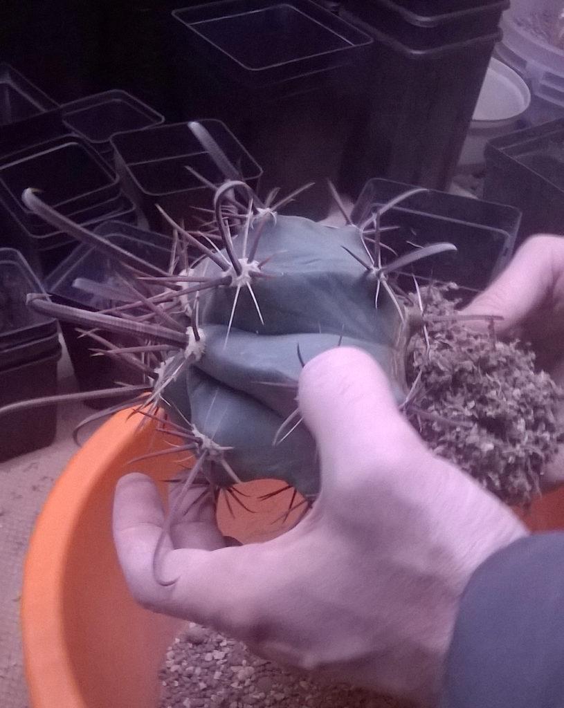 Rinvaso di un Ferocactus