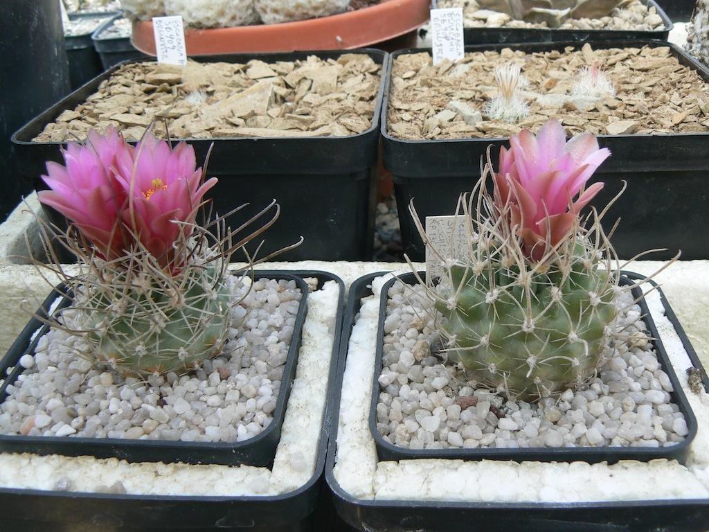 Sclerocactus alla loro prima fioritura. Sei anni dalla semina, mai innestati. Non vivono scoperti, decido io quando bagnbare