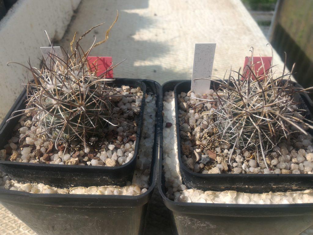 Sclerocactus parviflorus, mie semine, nati e cresciuti sulle proprie radici. E' il quarto inverno che passano all'aperto, esposti a tutte le intemperie