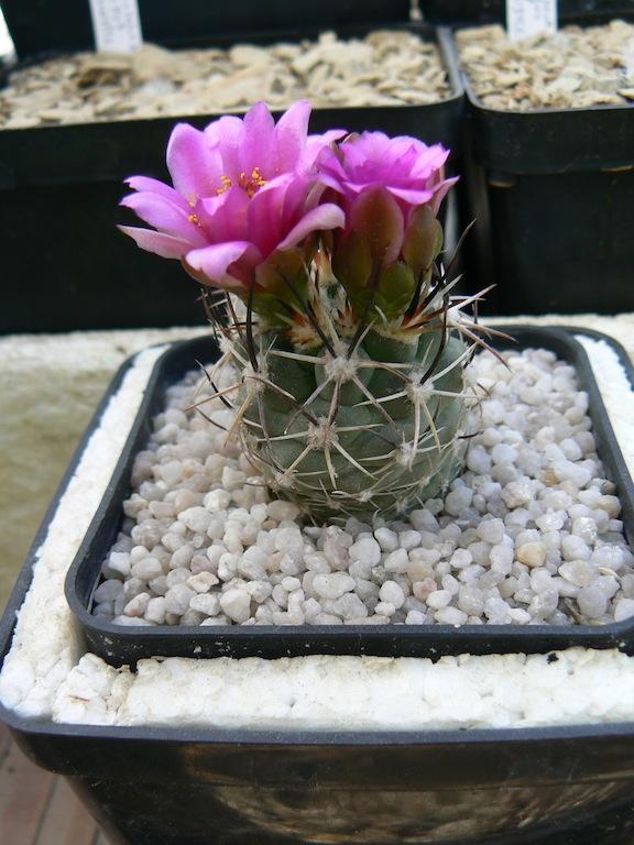 Sclerocactus semina David Rubbo, nato e cresciuto sulle proprie radici, 6 anni di età alla prima fioritura. Vive al coperto sempre, decido io quando bagnare