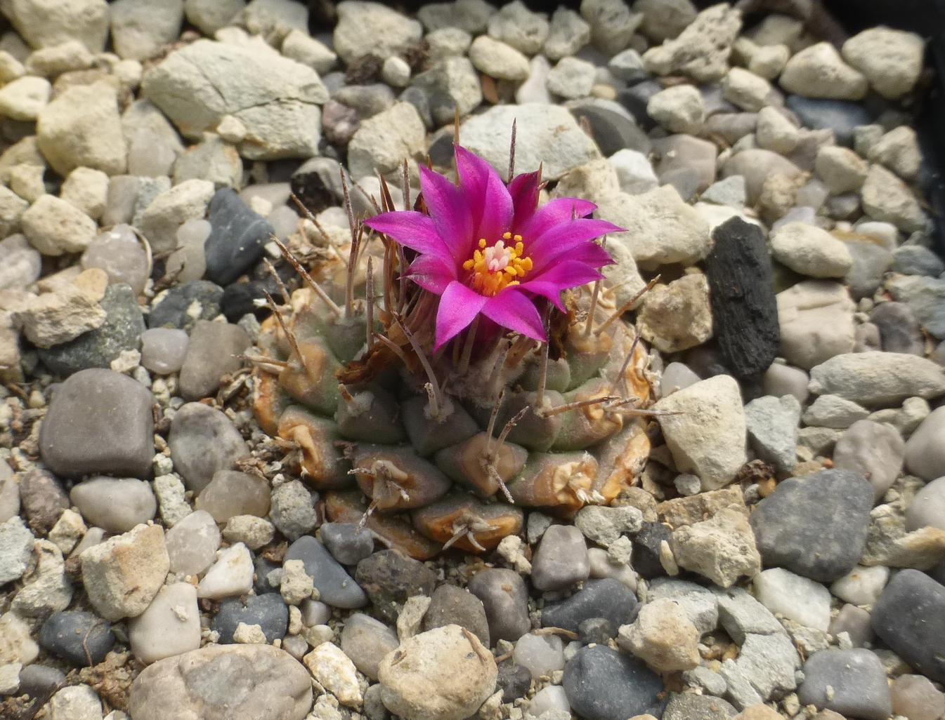 Strombocactus disciformis ssp esperanzae (pulcherrimus)