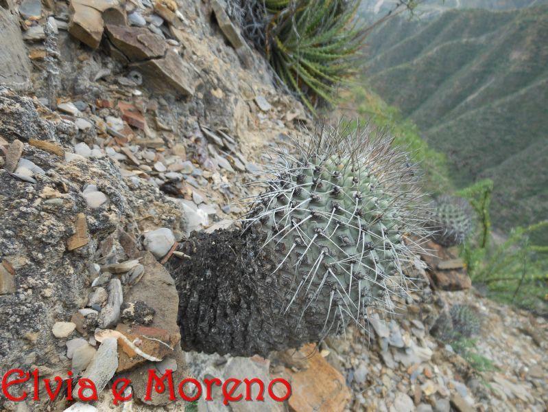 Strombocactus corregidorae
