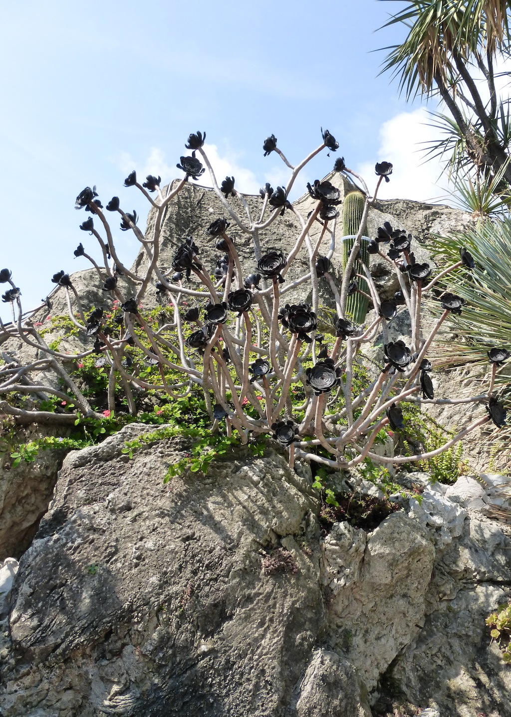 Aeonium atropurpureum al Giardino Esotico di Montecarlo