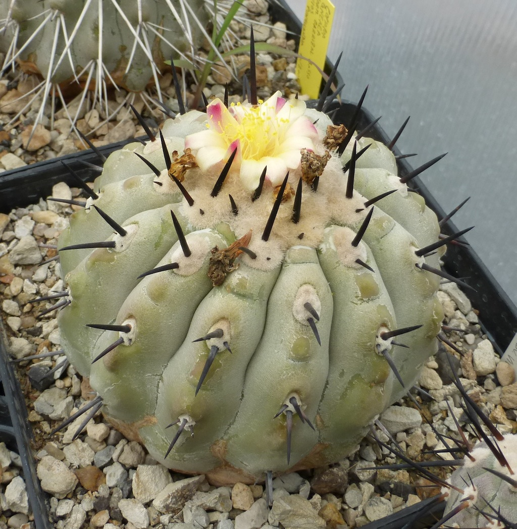 Copiapoa cinerea in fiore