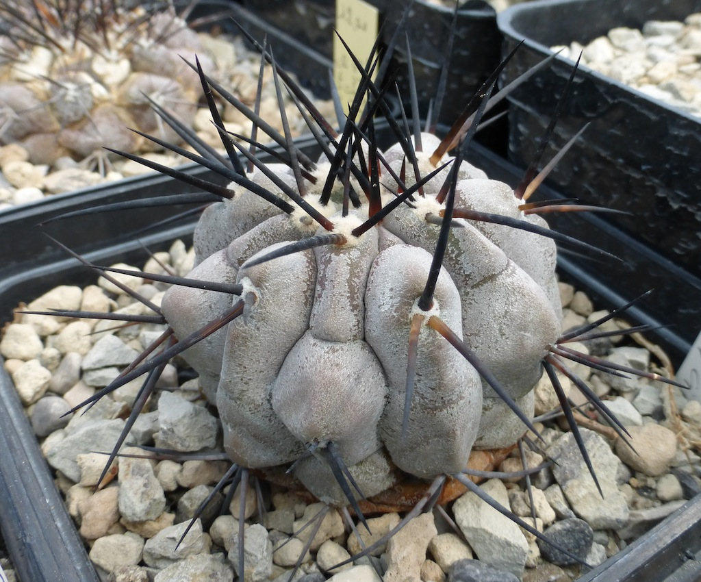 Copiapoa cinerea cresciuta in marna