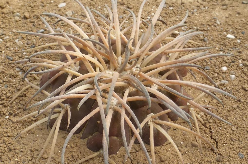 Spegazzinii, un groviglio di spine per il Gymnocalycium più multiforme e agguerrito