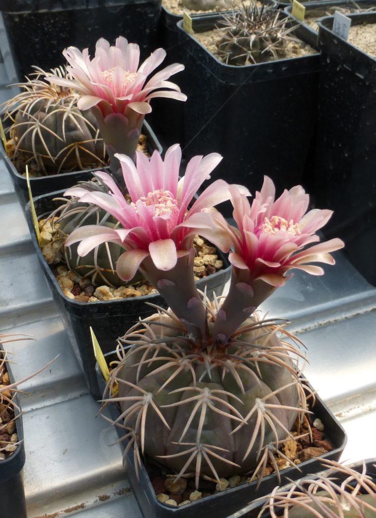 Gymnocalycium spegazzinii in fiore