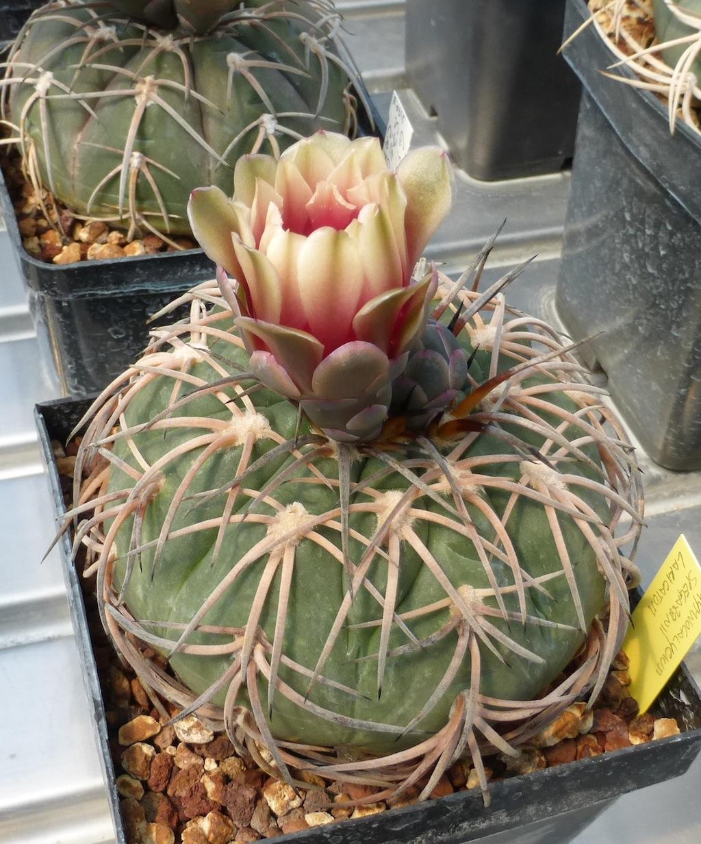 Gymnocalycium spegazzinii loricatum