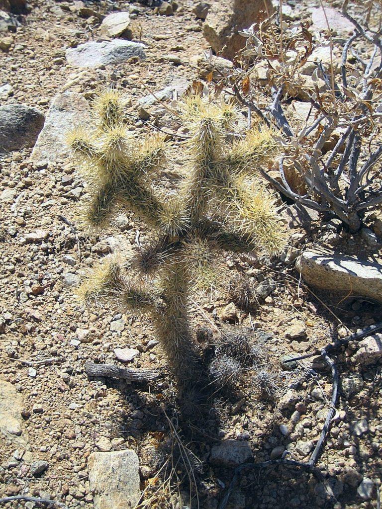 Cylindropuntia in habitat (Messico)