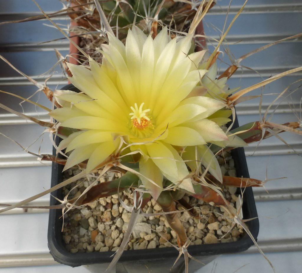 Leuchtenbergia principis, il fiore