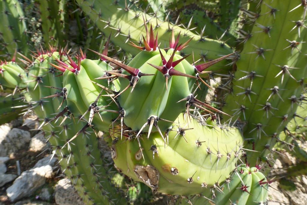 Myrtillocactus al Giardino Esotico di Montecarlo