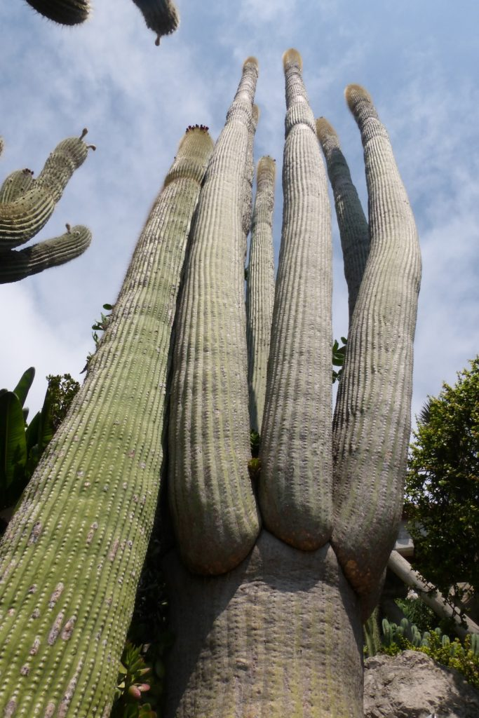 Cereus al Giardino Esotico di Montecarlo