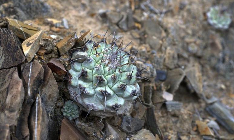 In viaggio nello stato messicano del Querétaro a caccia del rarissimo Strombocactus corregidorae