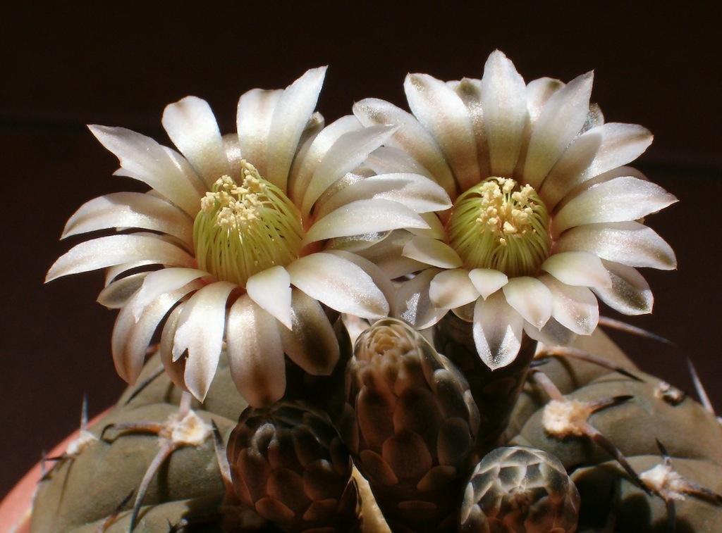 Sfondo in ombra e una buona digitale, e lo scatto ai fiori delle cactacee è da copertina…