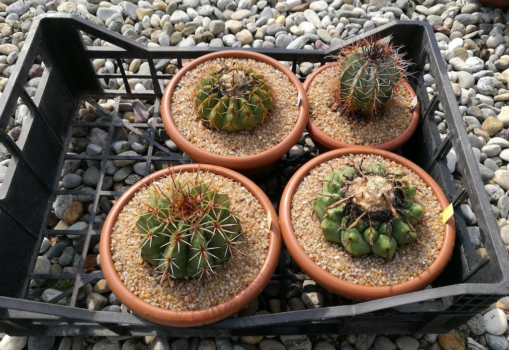 Discocactus e Melocactus dopo il rinvaso