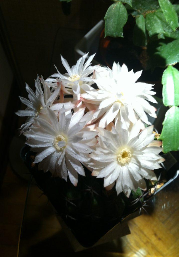 Discocactus crystallophilus in fiore