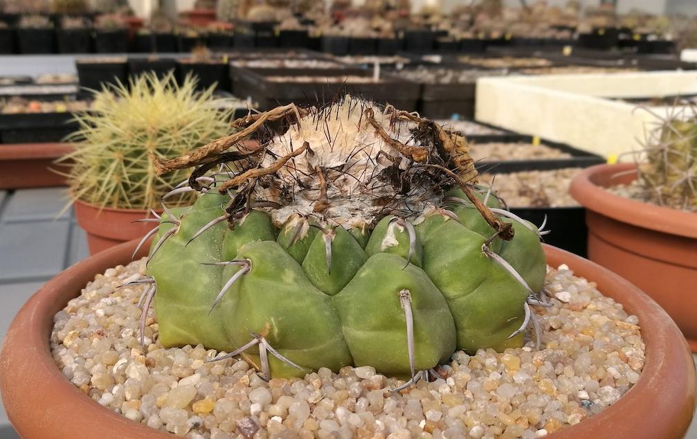 Amati e odiati al tempo stesso: Melocactus e Discocactus, piante belle ma permalose