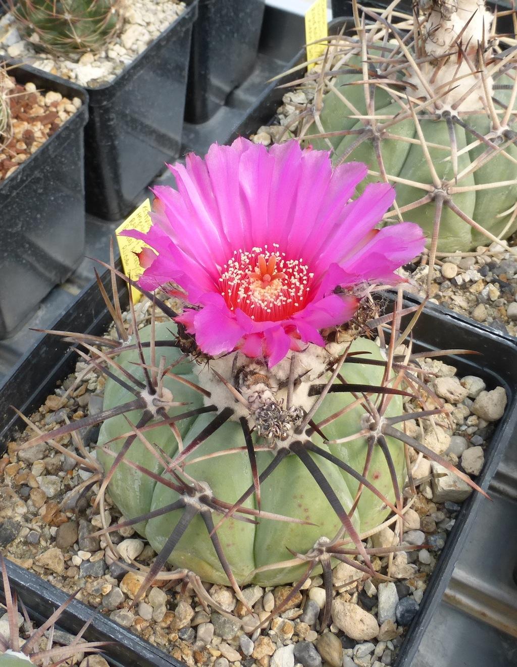 Echinocactus horizonthalonius in fiore