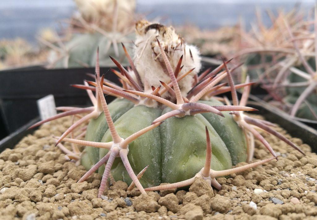 "Echinocactus horizonthalonius ""miniature form"""