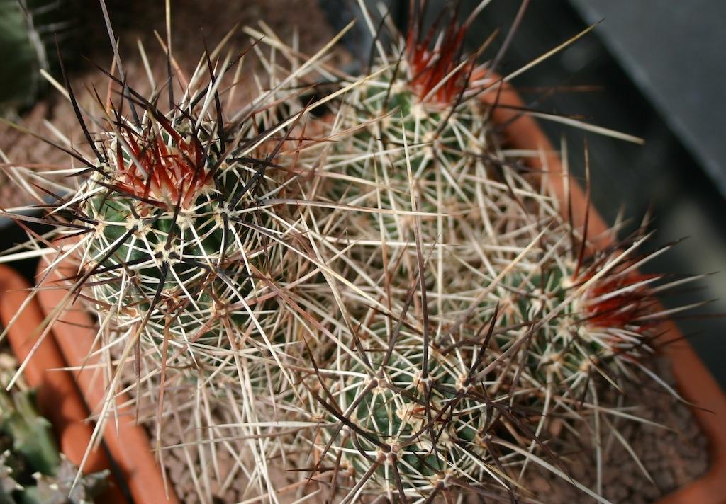 Echinocereus, le nuove spine spuntano in primavera