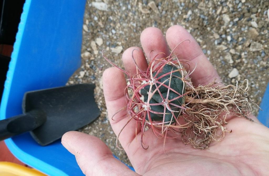 Irrobustire le spine delle cactacee: un piccolo esperimento con alcune semine di Ferocactus