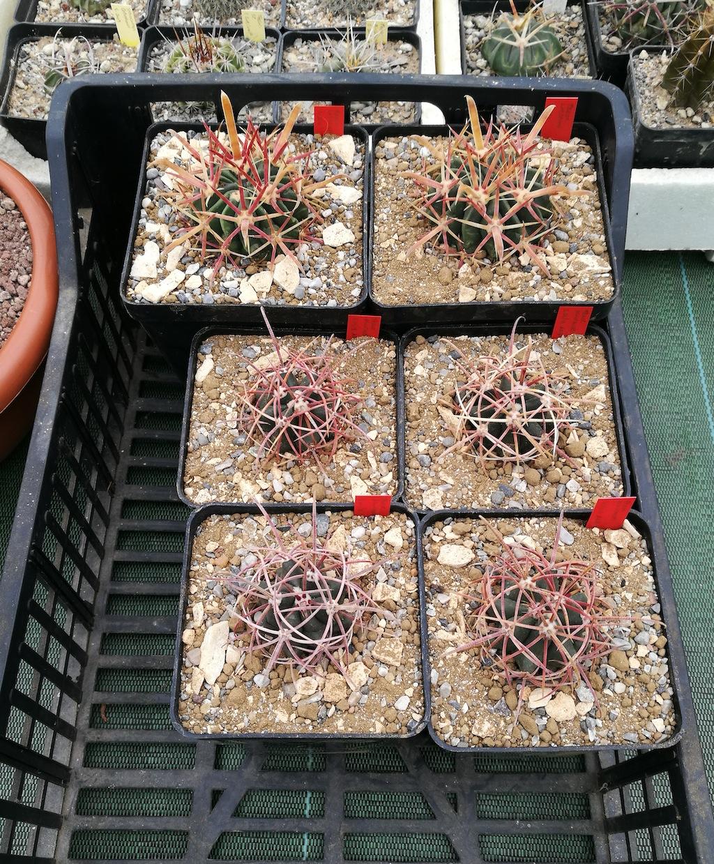 I Ferocactus pronti per essere spostati all'esterno