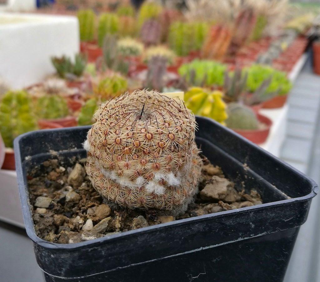 Mammillaria colpita da fusarium