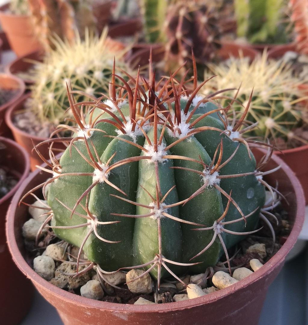 Melocactus matanzanus, una mia semina