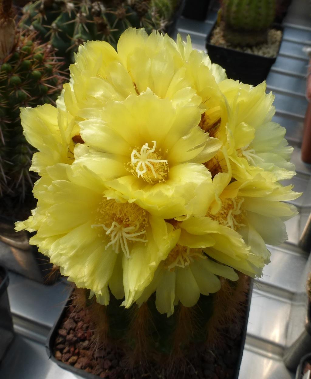 Parodia (Notocactus) leninghausii