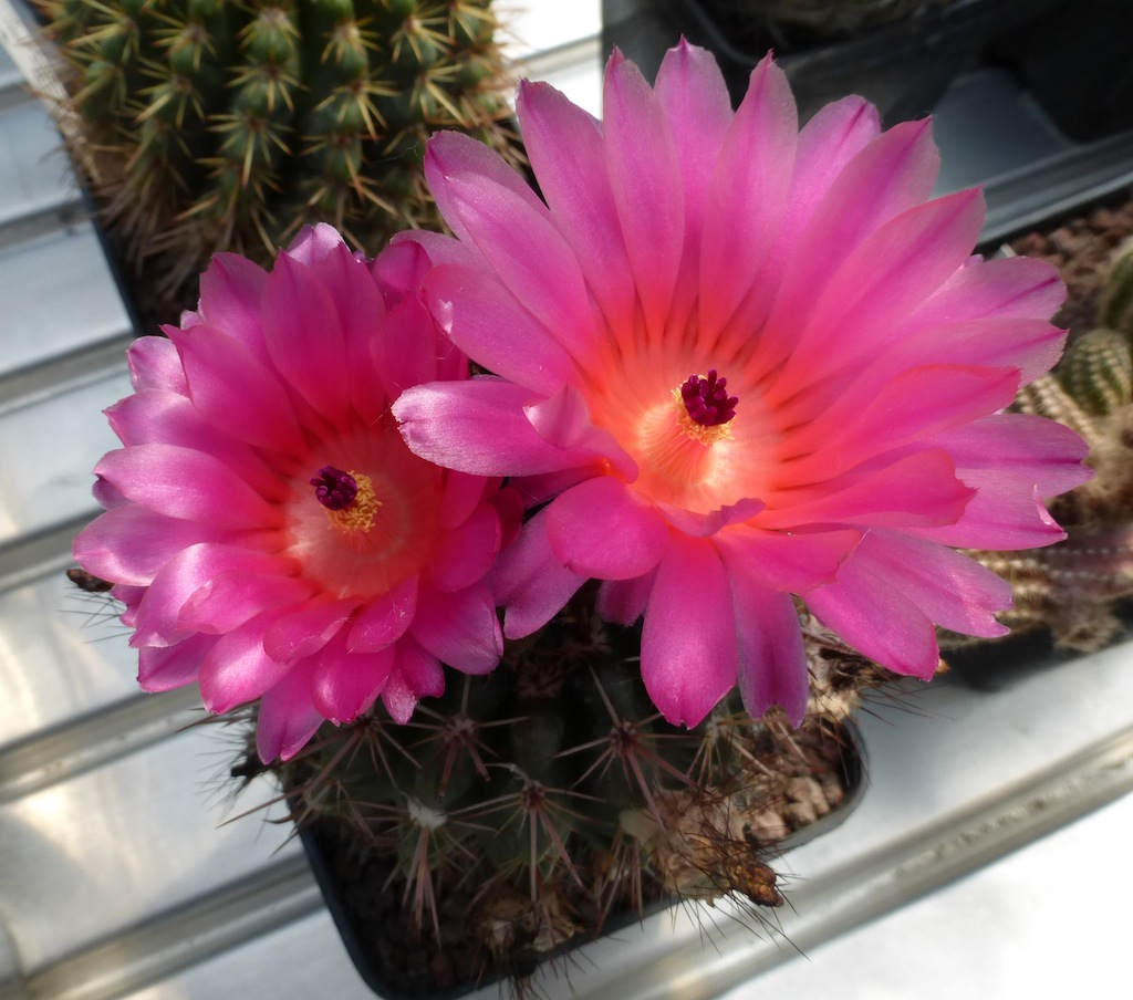 Parodia mammulosa (red flower)