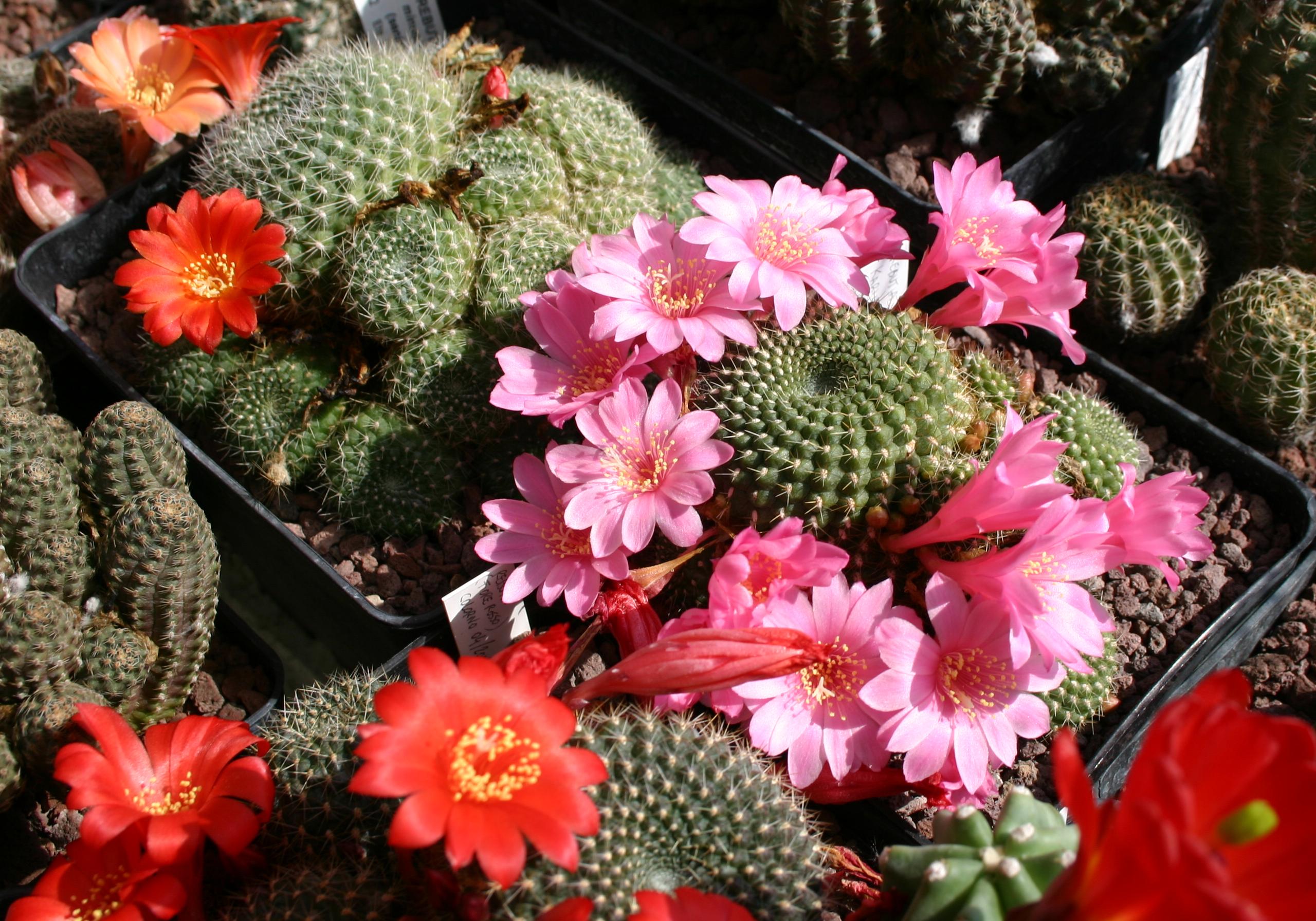 Rebutia in fiore